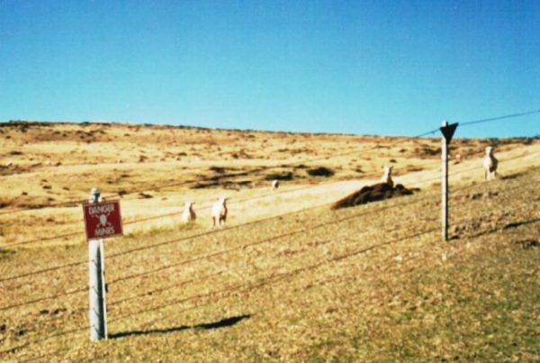 Sheep in a Falklands minefield